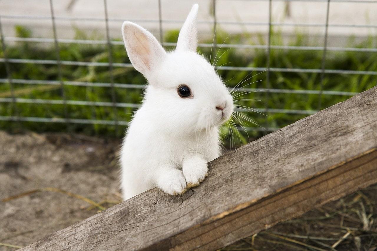 králík domácí